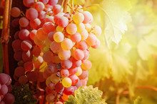 Grapes Against Sunset Light. Vivid Colored