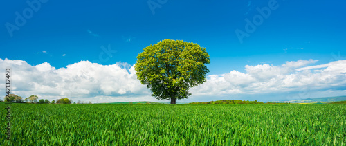 Panorama of Solitary Tree in Green Field under Blue Sky