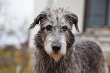 Dog Breed  Irish Wolfhound Por...