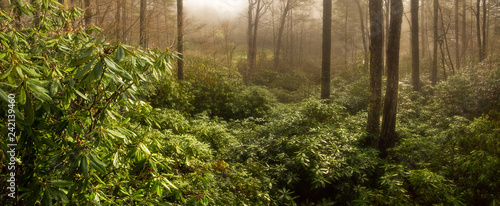 Foto  Thick Rhododendron Forest at Foggy Sunrise, North Carolina