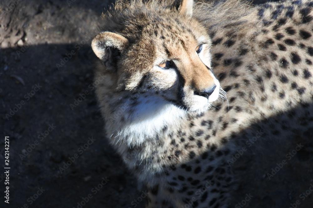 Sonne, Schatten und ein Gepard in der Sonne in der kleinen Karoo in Südafrika