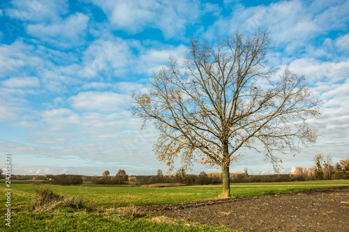 Large oak tree without leaves growing in the meadow
