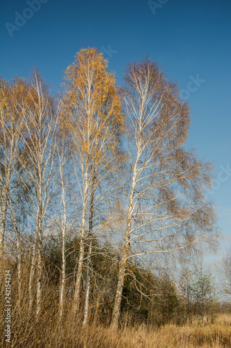 Birch trees with yellow leaves
