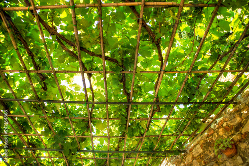 Pergola covered by the vine plant