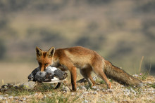 A Fox With A Prey In The Field