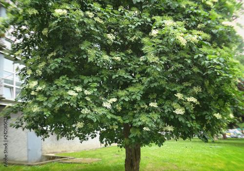 Obraz Elderberry (Sambucus Nigra) plant. - fototapety do salonu