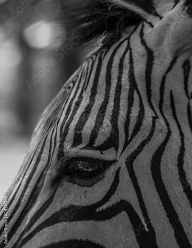 Poster Zebra Zebra Black and White