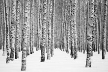 Snowy Winter Birches Black And...