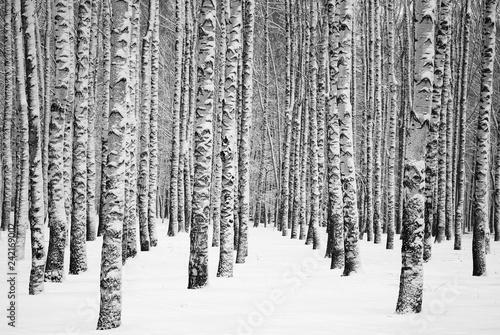 La pose en embrasure Bosquet de bouleaux Snowy winter birches black and white