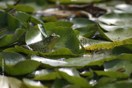 green frog on lily pads 2