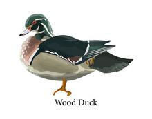 Wood Duck. Bird With Beak And ...