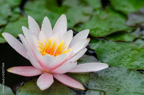 Poster de jardin Nénuphars beautiful lotus flower