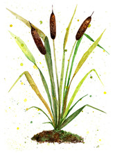 Reeds. Watercolor Illustration...