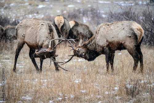 Photo  Bull Elk Battle