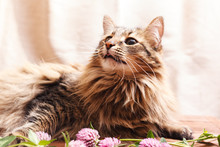 A Fluffy Gray Tabby Cat And A Pink Clover Flowers On A Beige Background. Funny Beautiful Tabby Cat Who Loves Flowers