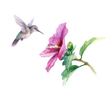 Watercolor Humming Bird Near H...