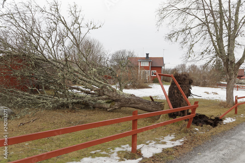 Fotografie, Obraz Fallen tree in front of a red cottage after the terrible storm Alfrida in Sweden