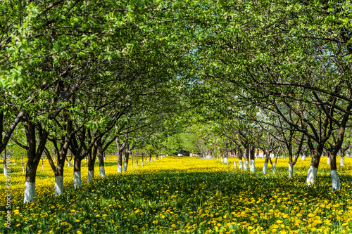 Naklejka premium Rzędy zielony ogrodnictwo kwitnie owocowych drzewa na zielonym kwitnie gazonie żółci dandelions. Łukowa aleja na wiosnę.