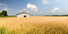 White Barn Or Farm Building With A Red Door In A Wheat Field. Beautiful Summer Scene With Golden Yellow Wheat Blowing And A White And Red Barn In The Background