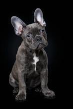 French Bulldog Puppy On Black Background