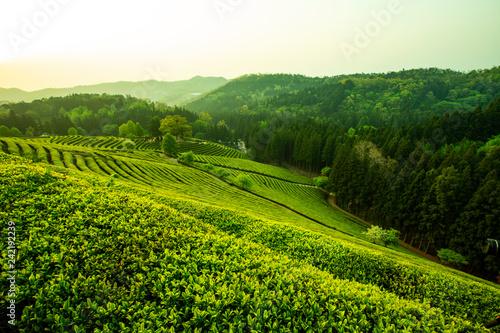 Foto op Aluminium Heuvel 녹차 잎 녹차 농장에 녹색 식물들이 가득하다