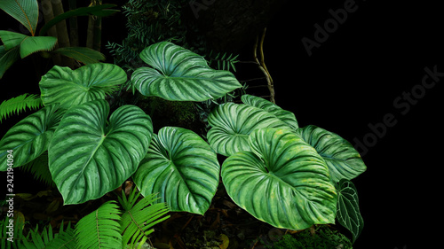 Poster Vegetal Heart shaped bicolors leaves of Philodendron plowmanii the rare exotic rainforest plant with forest ferns and varieties of tropical foliage plants in ornamental garden on dark background.