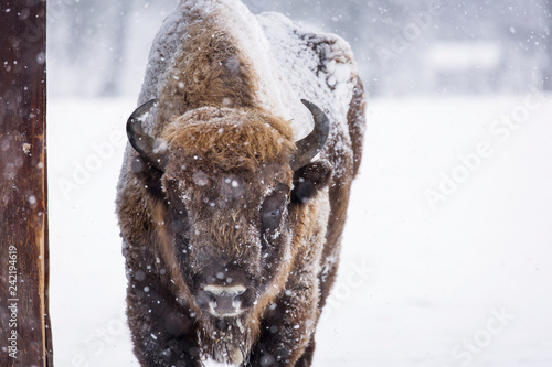 Fényképezés Bison or Aurochs in winter season in there habitat