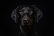 Adult doberman dog on black background