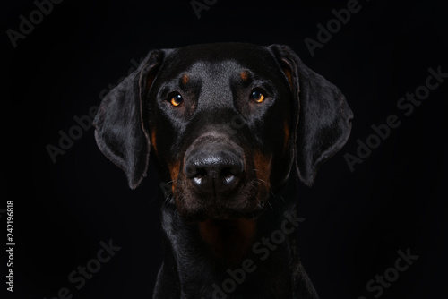 Spoed Foto op Canvas Hond Adult doberman dog on black background