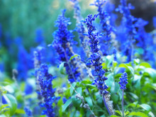 Blue Salvia, Blue Sage Flower, Salvia Farinacea, Mealycup Sage, Mealy Sage Growing In Garden