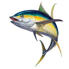 Yellow Tuna. Black Fin Yellow Tuna On White.
