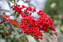 Red Fruits Of Heavenly Bamboo ...