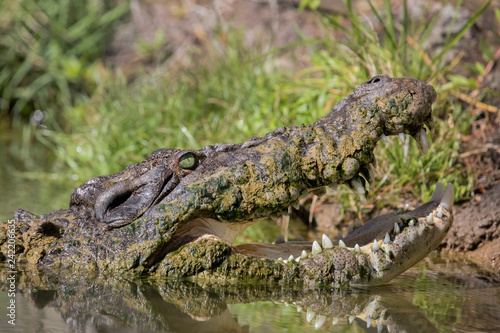 Fotografie, Obraz  Saltwater Crocodile with mouth open