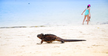 Outdoor View Of Marine Iguana On Tortuga Bay Beach At Galapagos Island