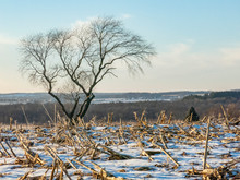 A Snow Covered Field Of Corn Stubble On A Hill With A Leafless Cherry Tree In The Background