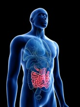 Illustration Of A Man's Small Intestine