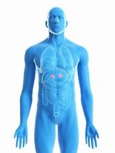 Illustration Of A Man's Adrenal Glands