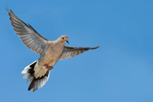 Mourning Dove, Zenaida Macroura, In Flight