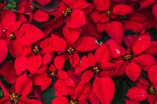 Poinsettia Red Flower Plant Leaf