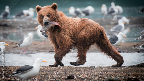 Photographie Russian Brown Bear
