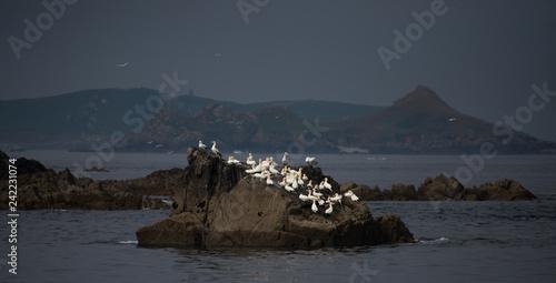 Oiseau baies des 7 îles Perros Guirec Côtes d'Armor Bretagne France