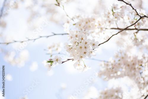 朝日に輝く桜の花