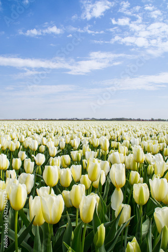 Photo  The tulip fields on a beautiful sunny Spring afternoon