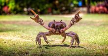 Fijian Mud Crab On The Grass W...