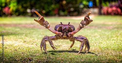 Photo  Fijian mud crab on the grass with its claws open