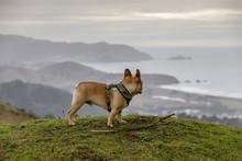 French Bulldog Looking At Coastal Views. Milagra Ridge, Pacifica, San Mateo County, California, USA.