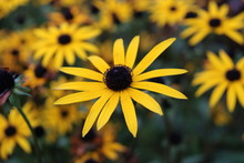 Black-eyed Susan Flower Close-up