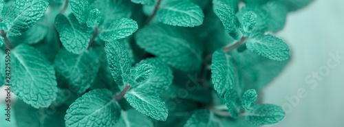 turquoise mint plant grow