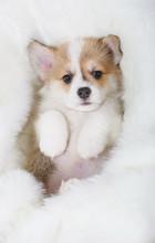 Welsh Corgi Pembroke Puppy Lyi...