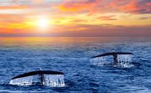 Tail Humpback Whale Sunrise Caribbean Sea Wave